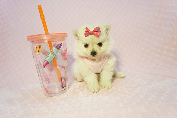 Gucci - Teacup Pomeranian Puppy Found her New Loving Home with Hor from Irvine CA 92604-22188
