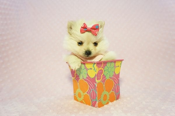Gucci - Teacup Pomeranian Puppy Found her New Loving Home with Hor from Irvine CA 92604-22189