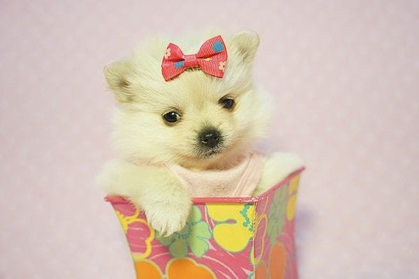 Gucci - Teacup Pomeranian Puppy Found her New Loving Home with Hor from Irvine CA 92604-22190