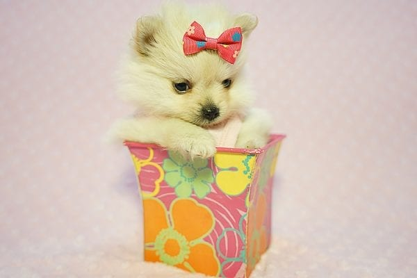 Gucci - Teacup Pomeranian Puppy Found her New Loving Home with Hor from Irvine CA 92604-22191