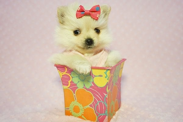 Gucci - Teacup Pomeranian Puppy Found her New Loving Home with Hor from Irvine CA 92604-22192