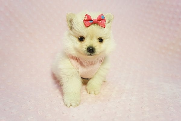 Gucci - Teacup Pomeranian Puppy Found her New Loving Home with Hor from Irvine CA 92604-22181