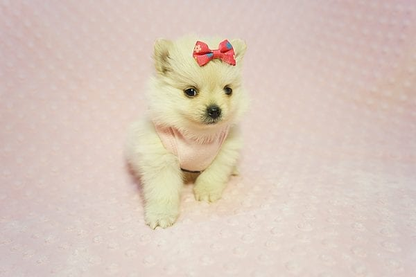 Gucci - Teacup Pomeranian Puppy Found her New Loving Home with Hor from Irvine CA 92604-22179