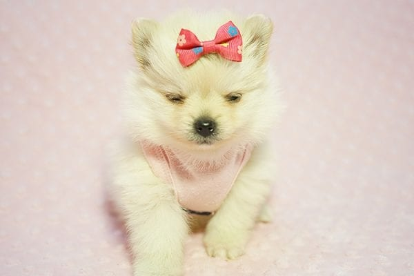 Gucci - Teacup Pomeranian Puppy Found her New Loving Home with Hor from Irvine CA 92604-22180