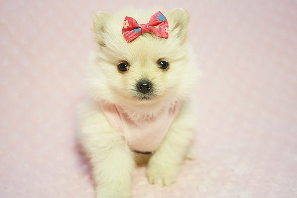 Gucci - Teacup Pomeranian Puppy Found her New Loving Home with Hor from Irvine CA 92604-22184