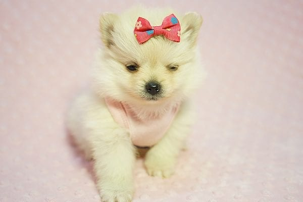Gucci - Teacup Pomeranian Puppy Found her New Loving Home with Hor from Irvine CA 92604-22183