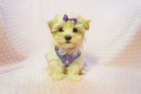 Jennifer Aniston - Toy Maltipoo Puppy Found Her Good Loving Home With Jodi G. In West Hollywood CA, 90046-22368