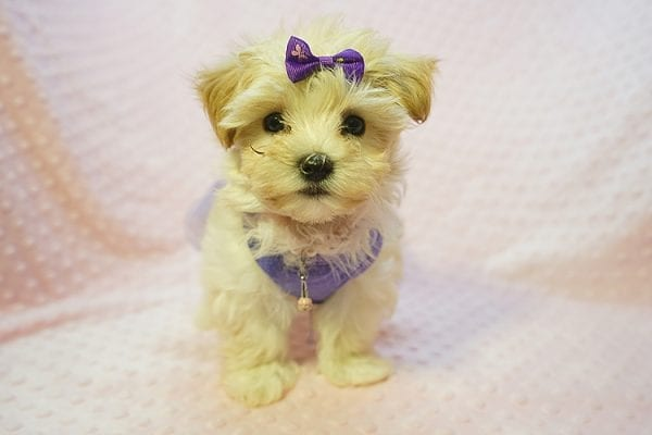 Jennifer Aniston - Toy Maltipoo Puppy Found Her Good Loving Home With Jodi G. In West Hollywood CA, 90046-0