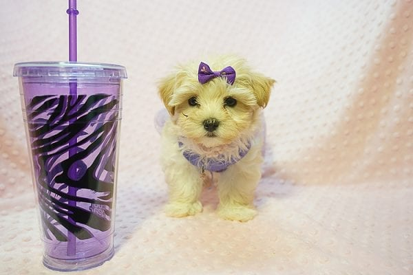 Jennifer Aniston - Toy Maltipoo Puppy Found Her Good Loving Home With Jodi G. In West Hollywood CA, 90046-22370