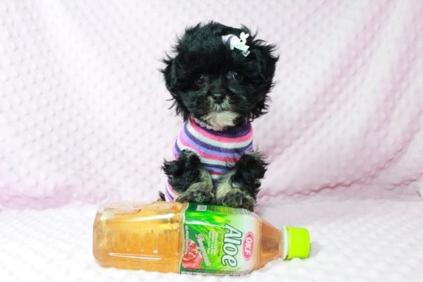 Lady Gaga - Teacup Malshi Puppy has found a good loving home with keith from Henderson.-22625