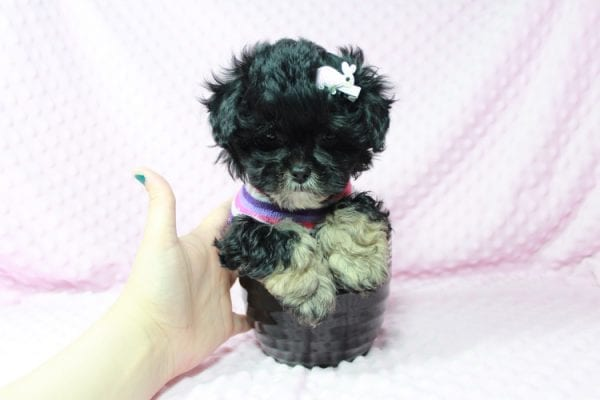 Lady Gaga - Teacup Malshi Puppy has found a good loving home with keith from Henderson.-22626