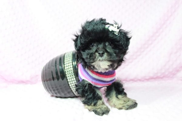 Lady Gaga - Teacup Malshi Puppy has found a good loving home with keith from Henderson.-0
