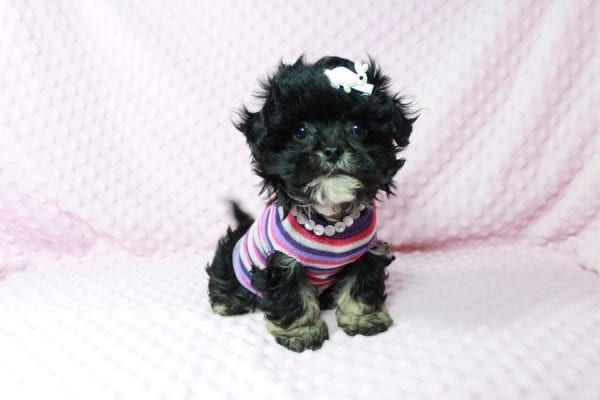 Lady Gaga - Teacup Malshi Puppy has found a good loving home with keith from Henderson.-22622