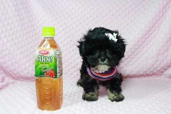 Lady Gaga - Teacup Malshi Puppy has found a good loving home with keith from Henderson.-22623