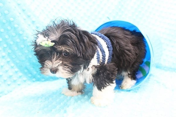 McGregor - Toy Malshi Puppy Found His Forever Home With Anthony In 92821-22148