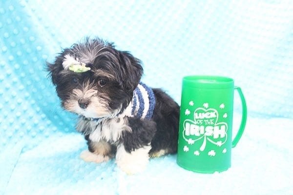 McGregor - Toy Malshi Puppy Found His Forever Home With Anthony In 92821-22149