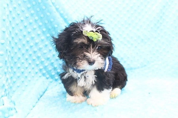 McGregor - Toy Malshi Puppy Found His Forever Home With Anthony In 92821-22139