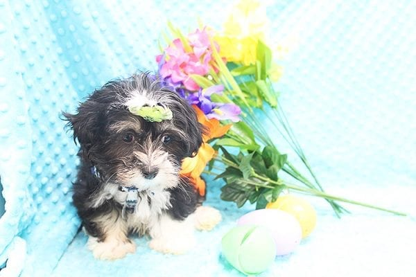 McGregor - Toy Malshi Puppy Found His Forever Home With Anthony In 92821-22140