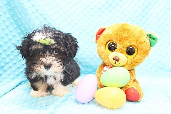 McGregor - Toy Malshi Puppy Found His Forever Home With Anthony In 92821-22146