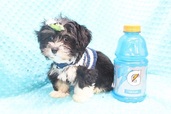 McGregor - Toy Malshi Puppy Found His Forever Home With Anthony In 92821-22143