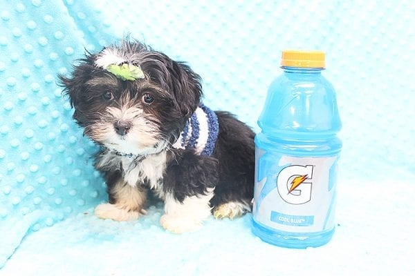McGregor - Toy Malshi Puppy Found His Forever Home With Anthony In 92821-22144