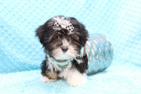 McGregor - Toy Malshi Puppy Found His Forever Home With Anthony In 92821-22421