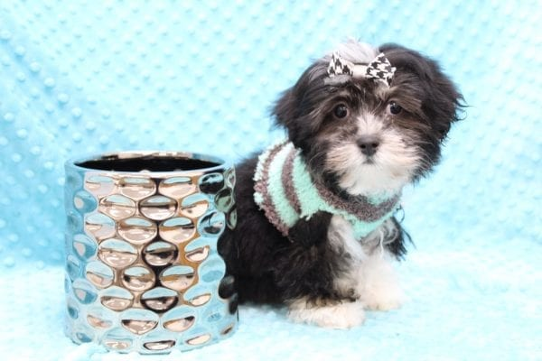 McGregor - Toy Malshi Puppy Found His Forever Home With Anthony In 92821-22416