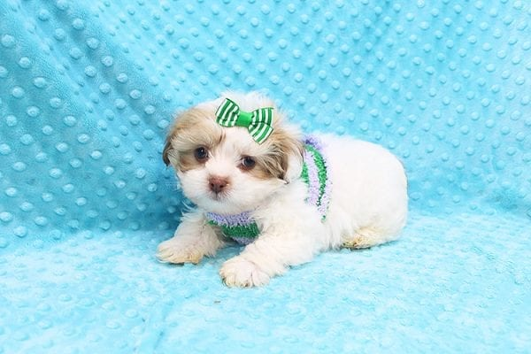 O' Malley - Toy Malshi Puppy adopted by Ivette Zavala in 90740-22126