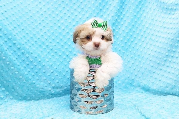 O' Malley - Toy Malshi Puppy adopted by Ivette Zavala in 90740-22133