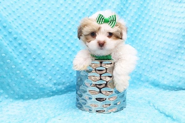 O' Malley - Toy Malshi Puppy adopted by Ivette Zavala in 90740-22134