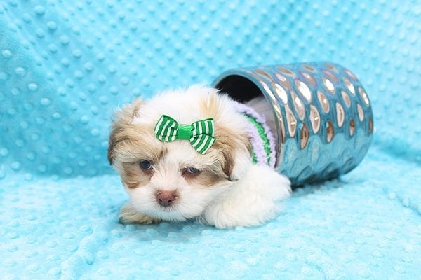 O' Malley - Toy Malshi Puppy adopted by Ivette Zavala in 90740-22137