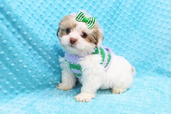O' Malley - Toy Malshi Puppy adopted by Ivette Zavala in 90740-22128