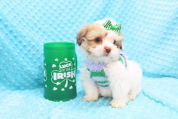 O' Malley - Toy Malshi Puppy adopted by Ivette Zavala in 90740-22129