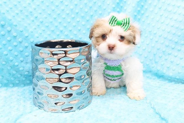 O' Malley - Toy Malshi Puppy adopted by Ivette Zavala in 90740-22131
