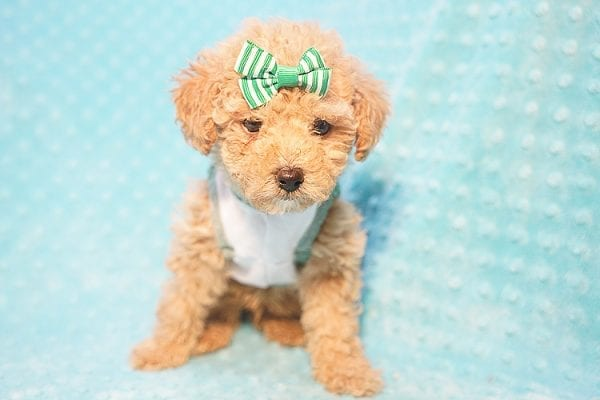 Peter Pan - Toy Poodle Puppy Found His Good Loving Home With Johnny C. in Irvine CA, 92614-22722