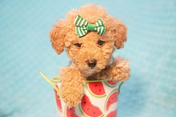 Peter Pan - Toy Poodle Puppy Found His Good Loving Home With Johnny C. in Irvine CA, 92614-22725