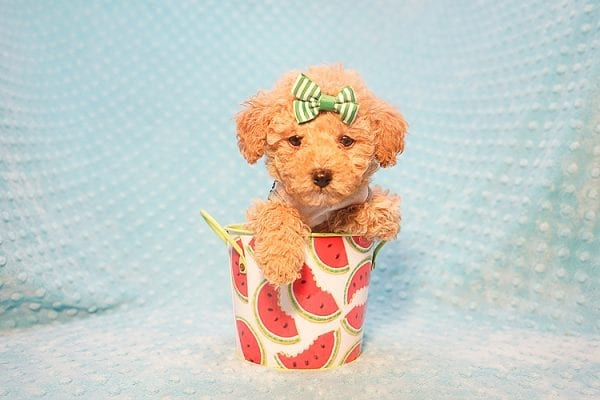 Peter Pan - Toy Poodle Puppy Found His Good Loving Home With Johnny C. in Irvine CA, 92614-22727
