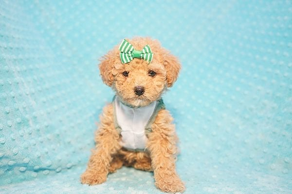 Peter Pan - Toy Poodle Puppy Found His Good Loving Home With Johnny C. in Irvine CA, 92614-22724