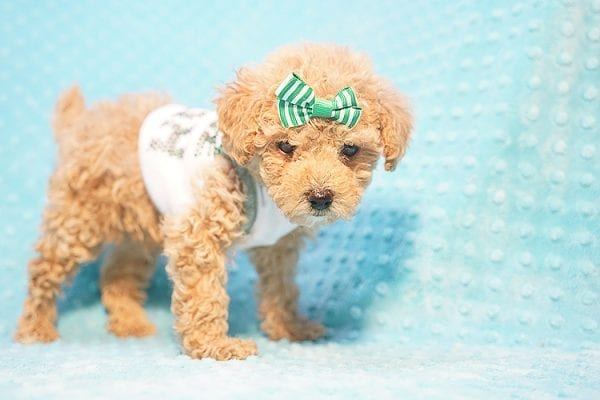 Peter Pan - Toy Poodle Puppy Found His Good Loving Home With Johnny C. in Irvine CA, 92614-22723
