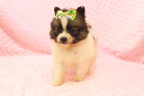Rainbow Dash - Teacup Pomeranian Found her Forever Home With Janalyn In 84010-22073