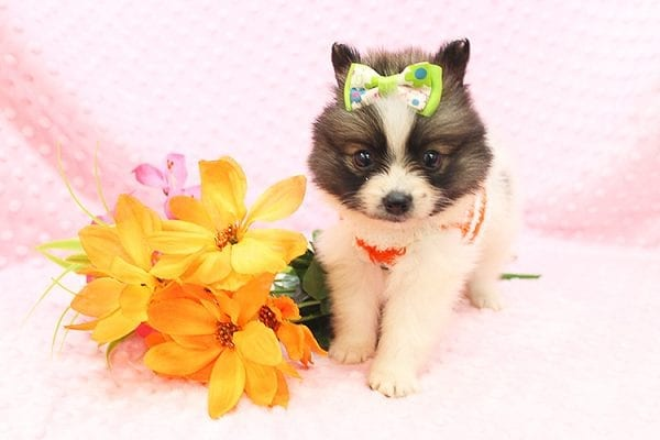 Rainbow Dash - Teacup Pomeranian Found her Forever Home With Janalyn In 84010-0