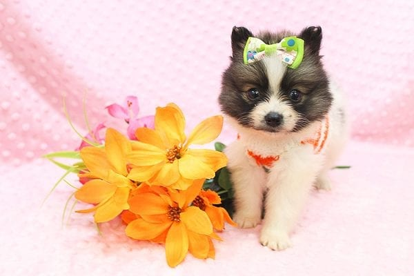 Rainbow Dash - Teacup Pomeranian Found her Forever Home With Janalyn In 84010-22078