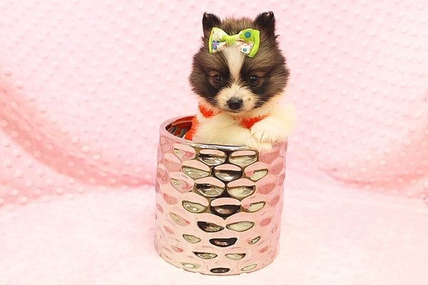 Rainbow Dash - Teacup Pomeranian Found her Forever Home With Janalyn In 84010-22080