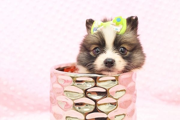 Rainbow Dash - Teacup Pomeranian Found her Forever Home With Janalyn In 84010-22081