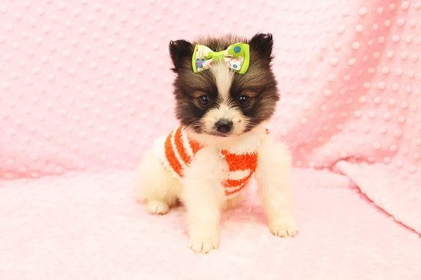 Rainbow Dash - Teacup Pomeranian Found her Forever Home With Janalyn In 84010-22072