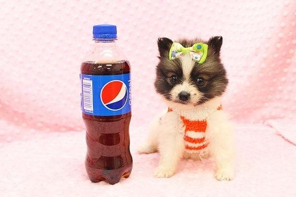 Rainbow Dash - Teacup Pomeranian Found her Forever Home With Janalyn In 84010-22074