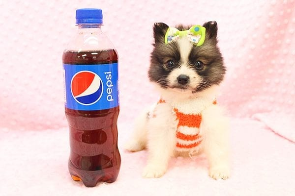Rainbow Dash - Teacup Pomeranian Found her Forever Home With Janalyn In 84010-22075