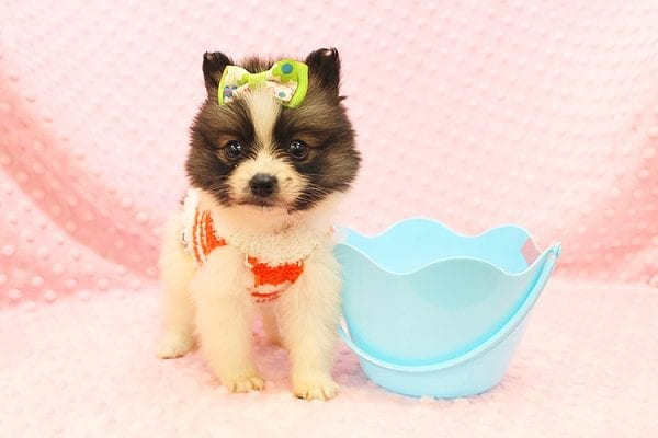 Rainbow Dash - Teacup Pomeranian Found her Forever Home With Janalyn In 84010-22076