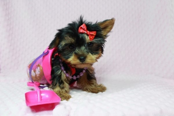 Selena Gomez - Teacup Yorkie in Las Vegas has found a good loving home with Rochelle from Las Vegas-22990