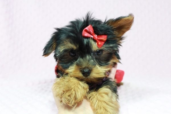 Selena Gomez - Teacup Yorkie in Las Vegas has found a good loving home with Rochelle from Las Vegas-22991